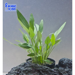 Cryptocoryne nevelli