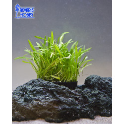 Lilaeopsis noveazeelandiae