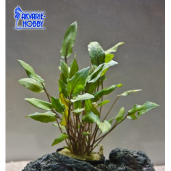 Cryptocoryne Undlatus brown