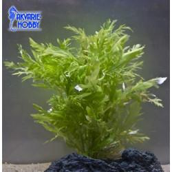 Hygrophila Difformis